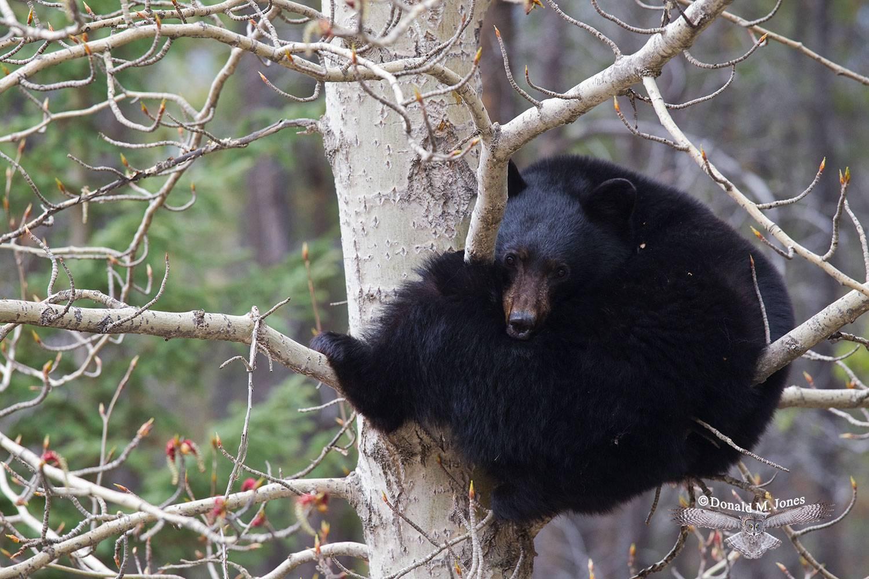 Black-Bear06054D