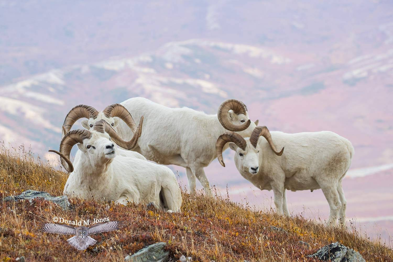 Dall-Sheep02186D