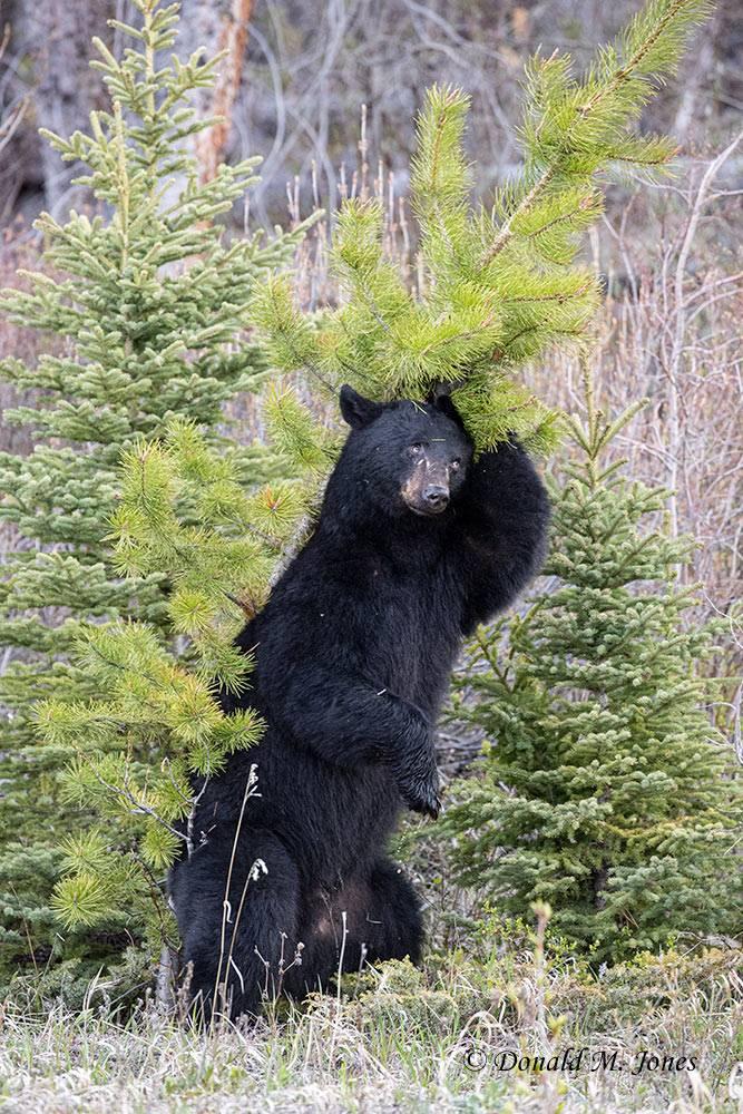 Black-Bear08279D