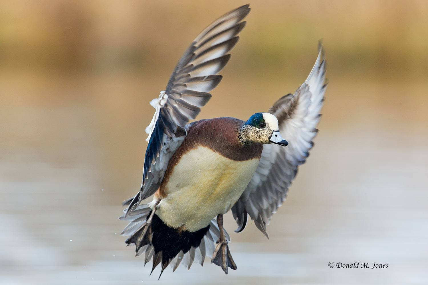 American-Wigeon0272D