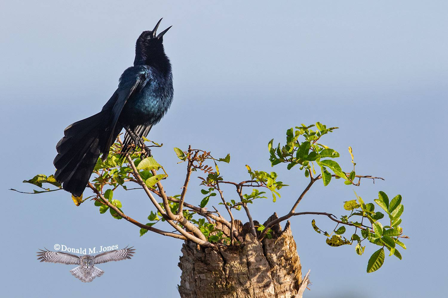Boat-tailed-Grackle0144D