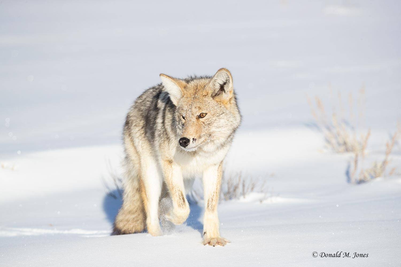 Coyote2653D