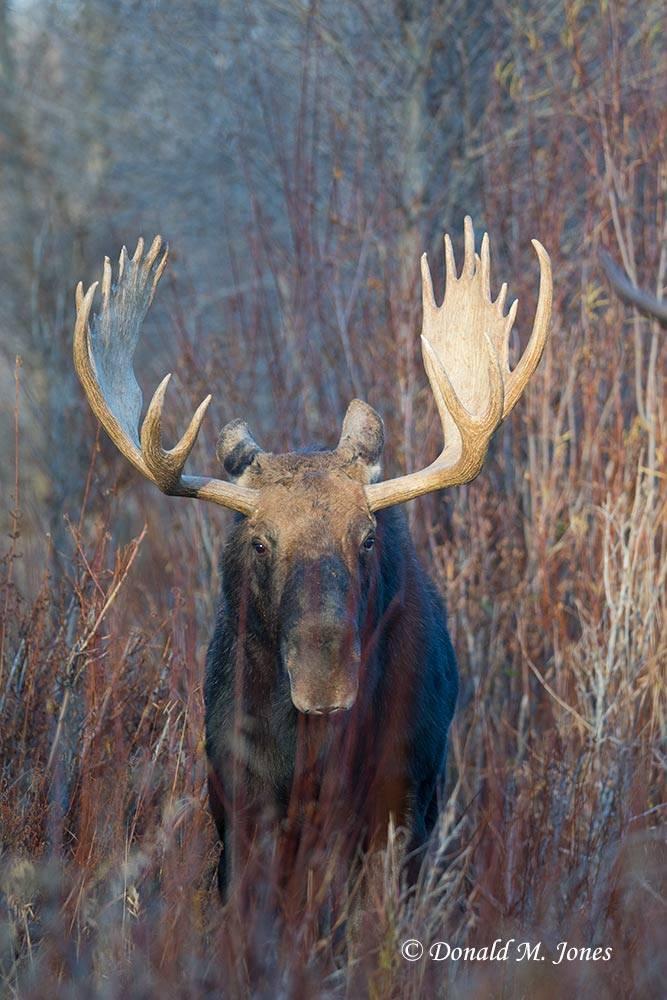 Moose05324D