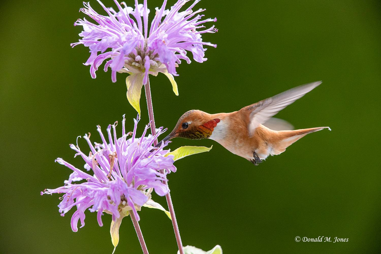 Rufus-Hummingbird0766D