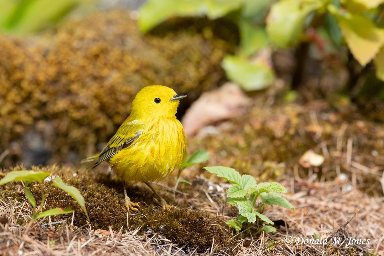 Yellow-Warbler0268D