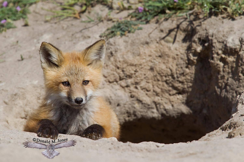 Red-Fox0798D