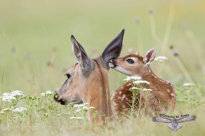 Whitetail-Deer57353D