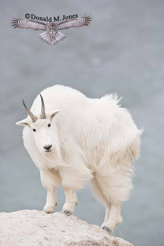 Mountain-Goat02505D