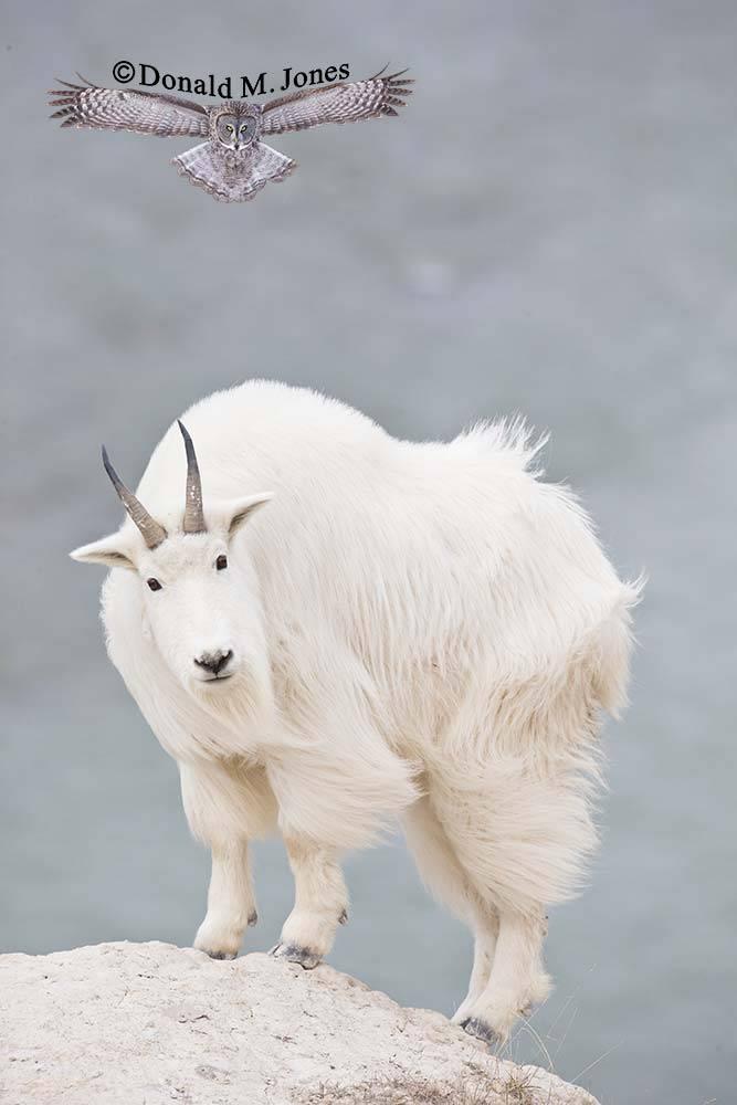 Mountain-Goat02505D