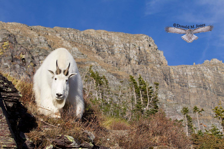 Mountain-Goat02811D