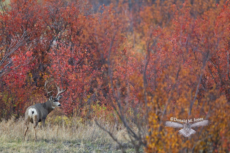 Mule-Deer08914D