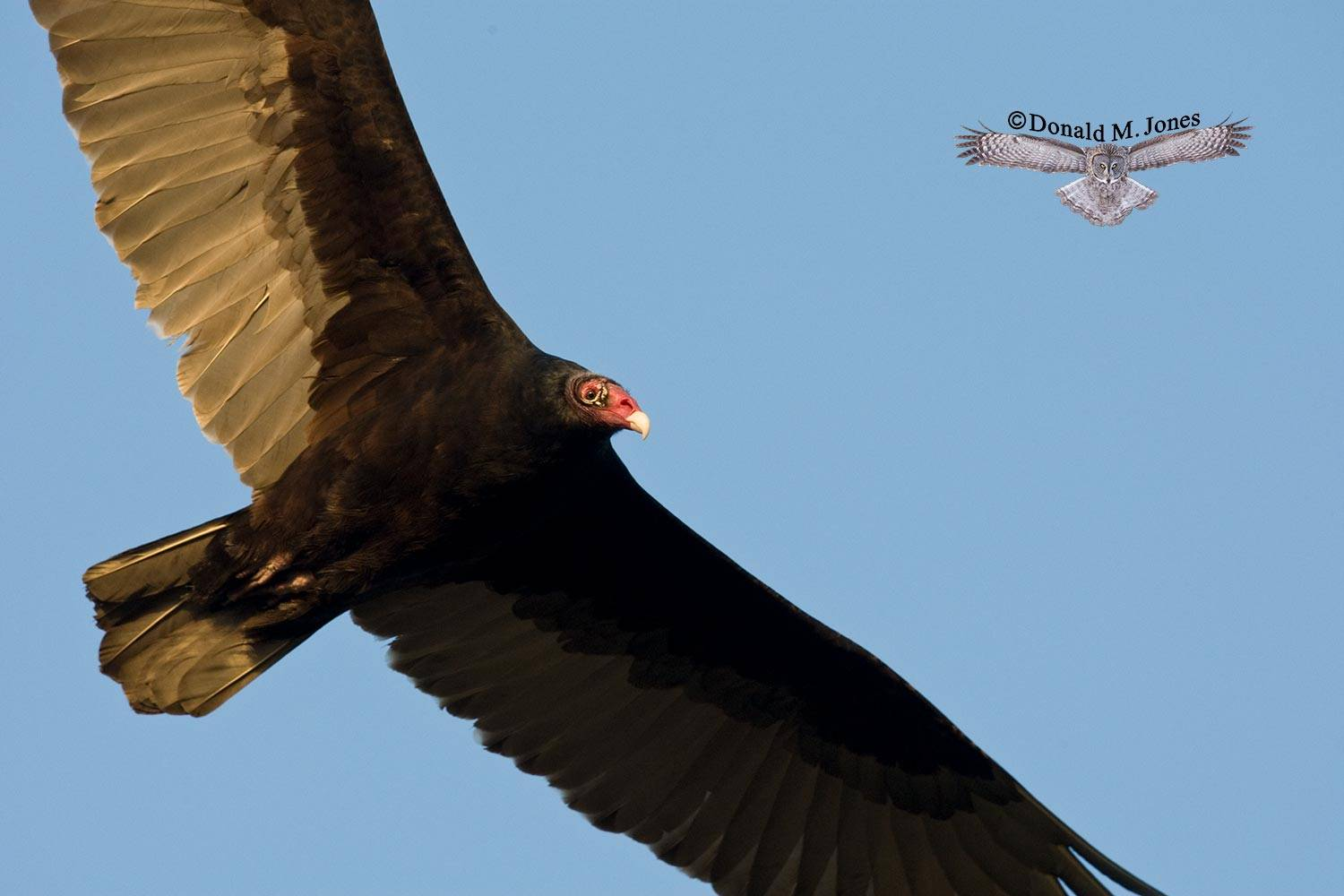 Turkey-Vulture0157D