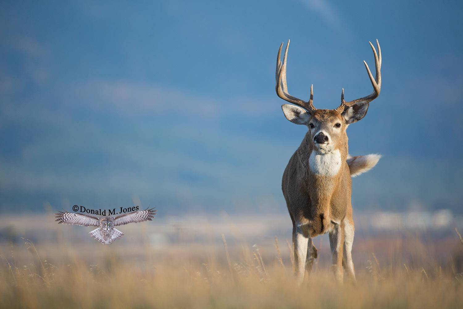 Whitetail-Deer50935D