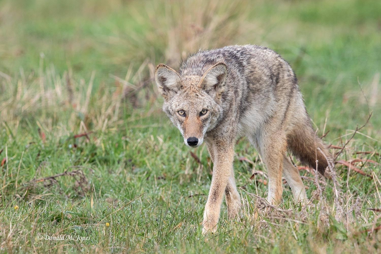 Coyote2630D