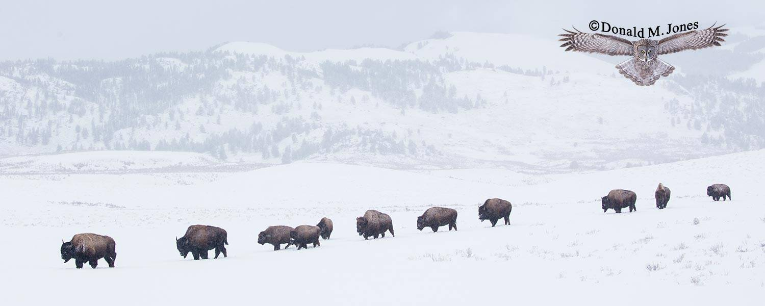 American-Bison02458D
