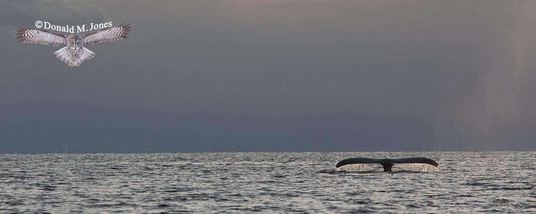 Humpback-Whale0074D