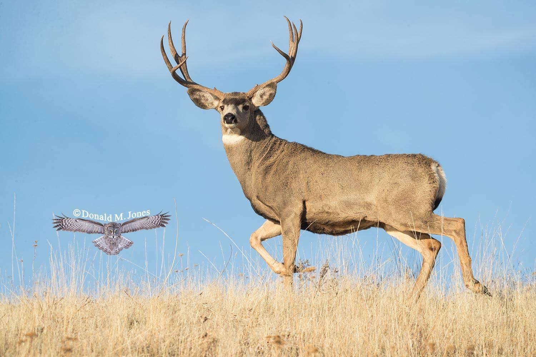 Mule-Deer10749D