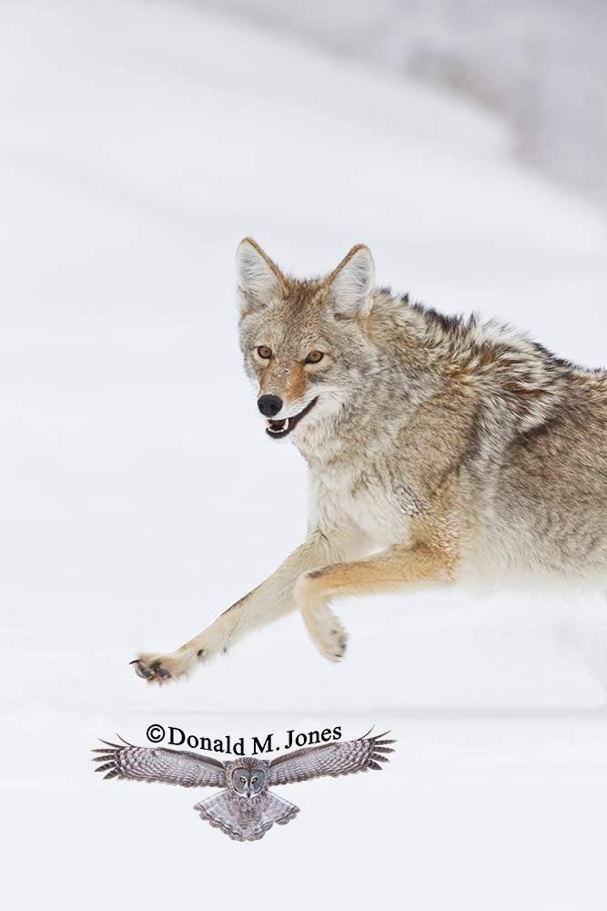 Coyote02079D