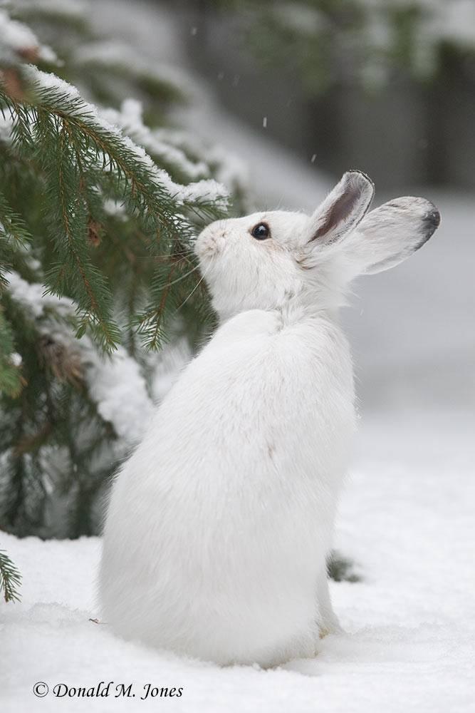 Snowshoe-Hare0136D
