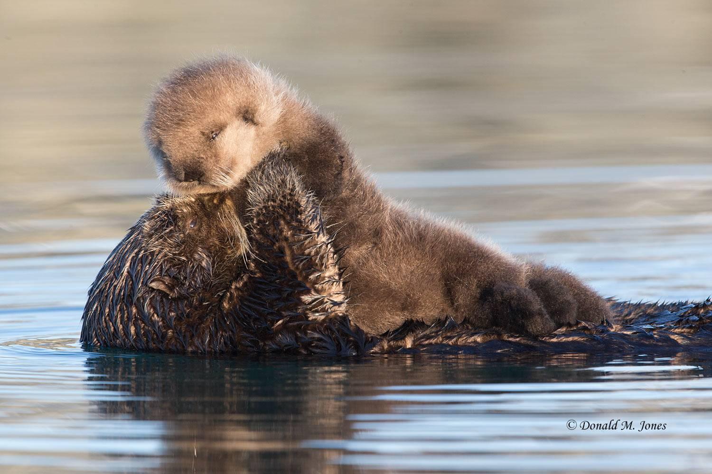 Sea-Otter0619D