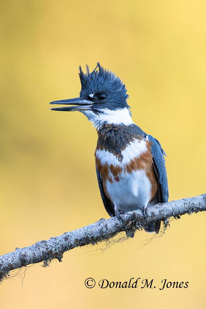 Belted-Kingfisher0189D