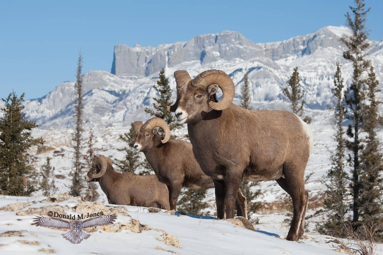 Bighorn-Sheep04027D