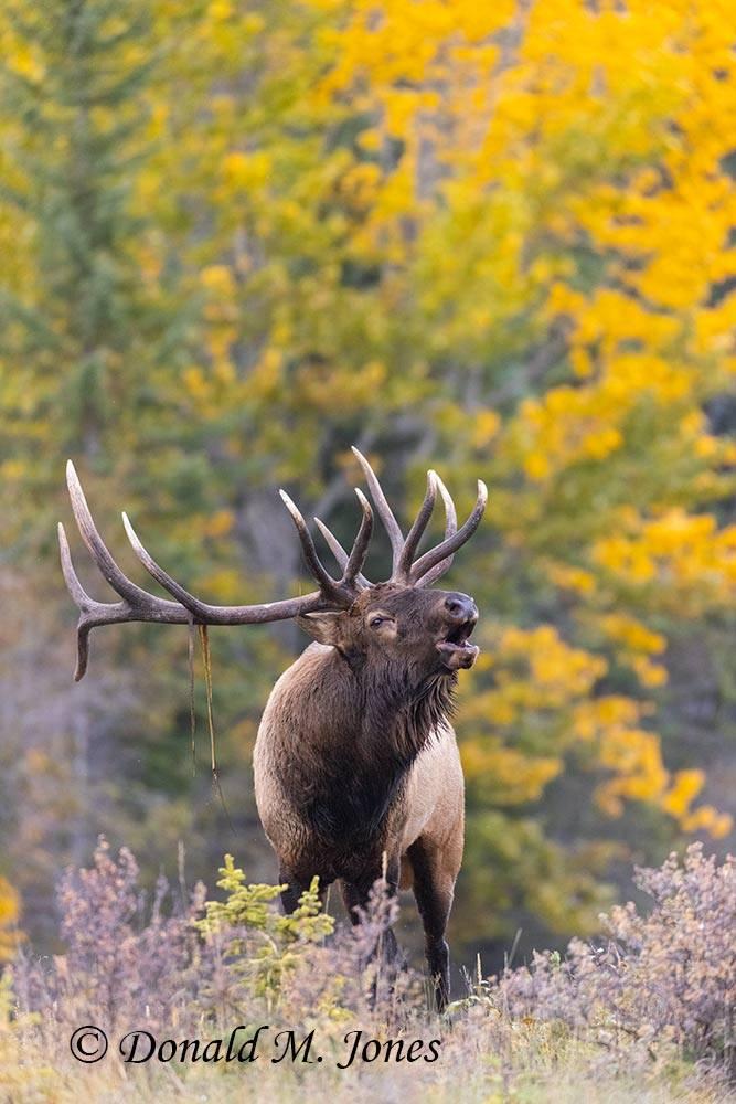Elk-(Rocky-Mtn)28479D