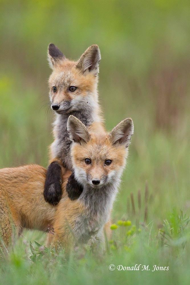 Red-Fox0850D