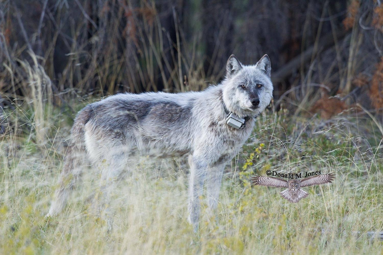 Wolf0577D