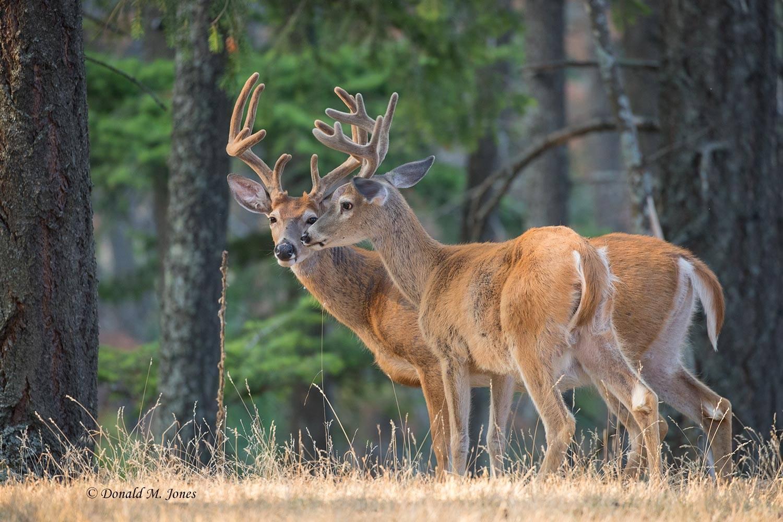 Whitetail-Deer57442D