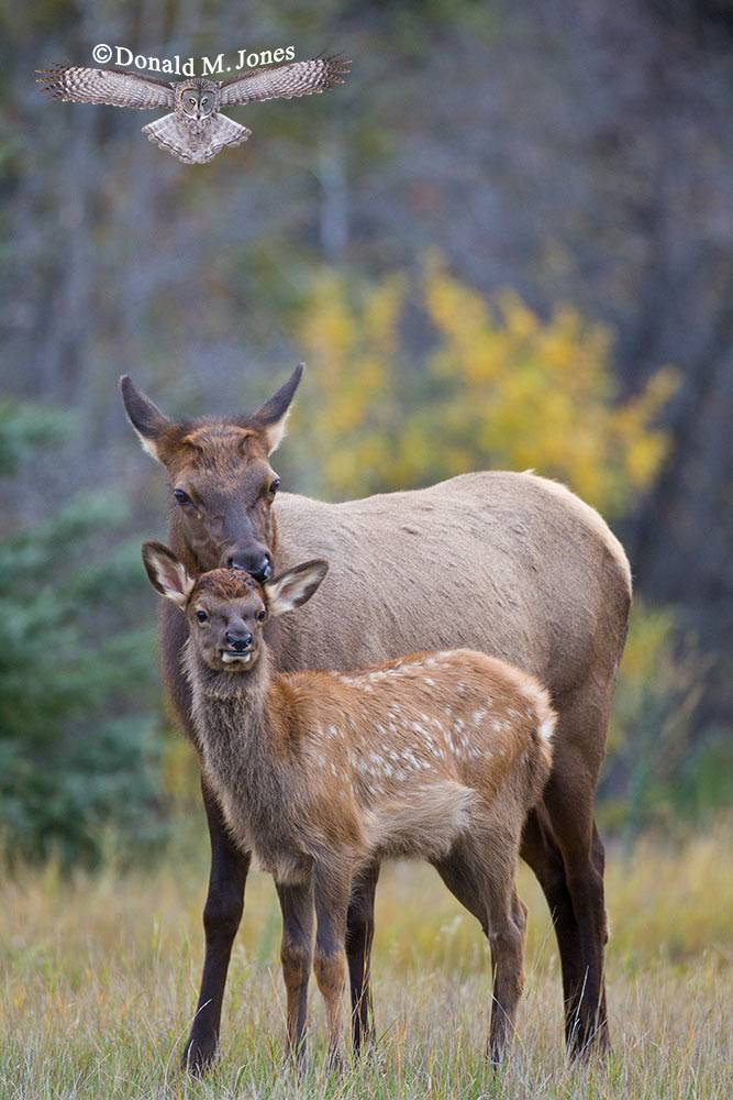 Elk-(Rocky-Mtn)22819D
