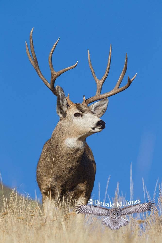 Mule-Deer08126D