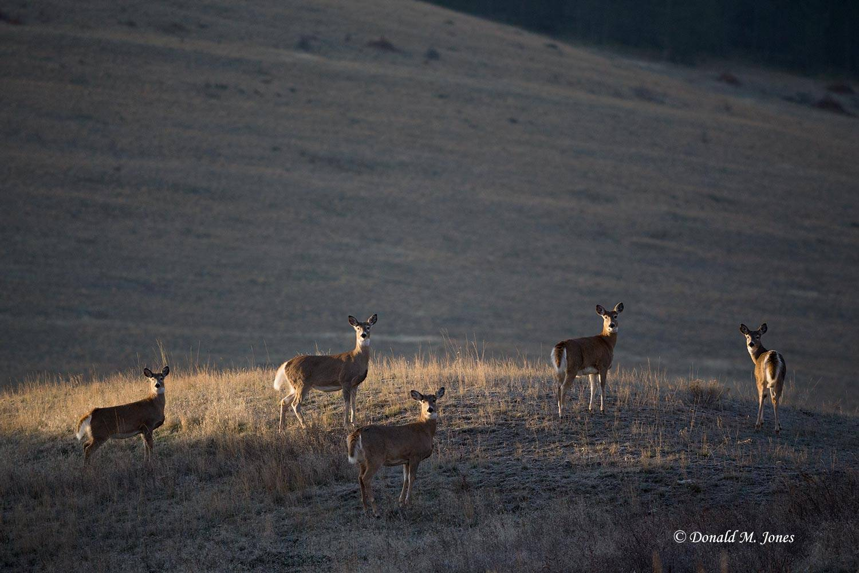 Whitetail-Deer52020D