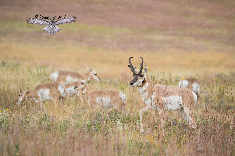 Pronghorn-Antelope05386D