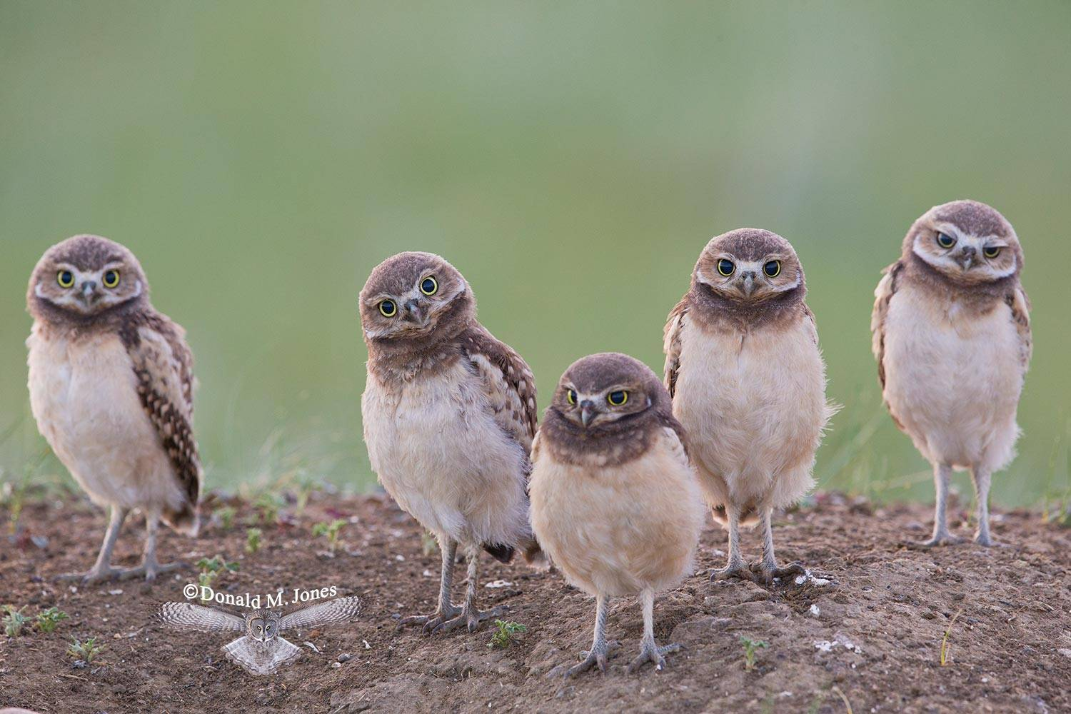Burrowing-Owl0709D