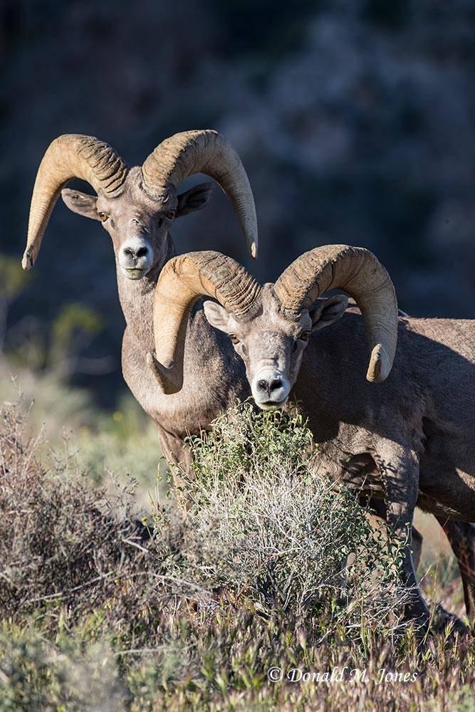 Desert-Bighorn-Sheep00877D