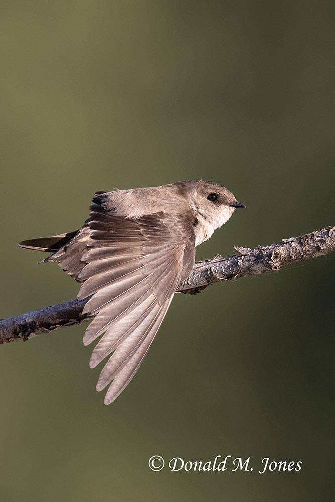Northern-Rough-winged-Swallow0103D