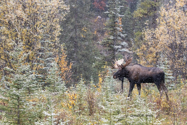 Moose06823D