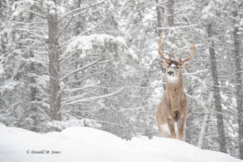 Whitetail-Deer55050D