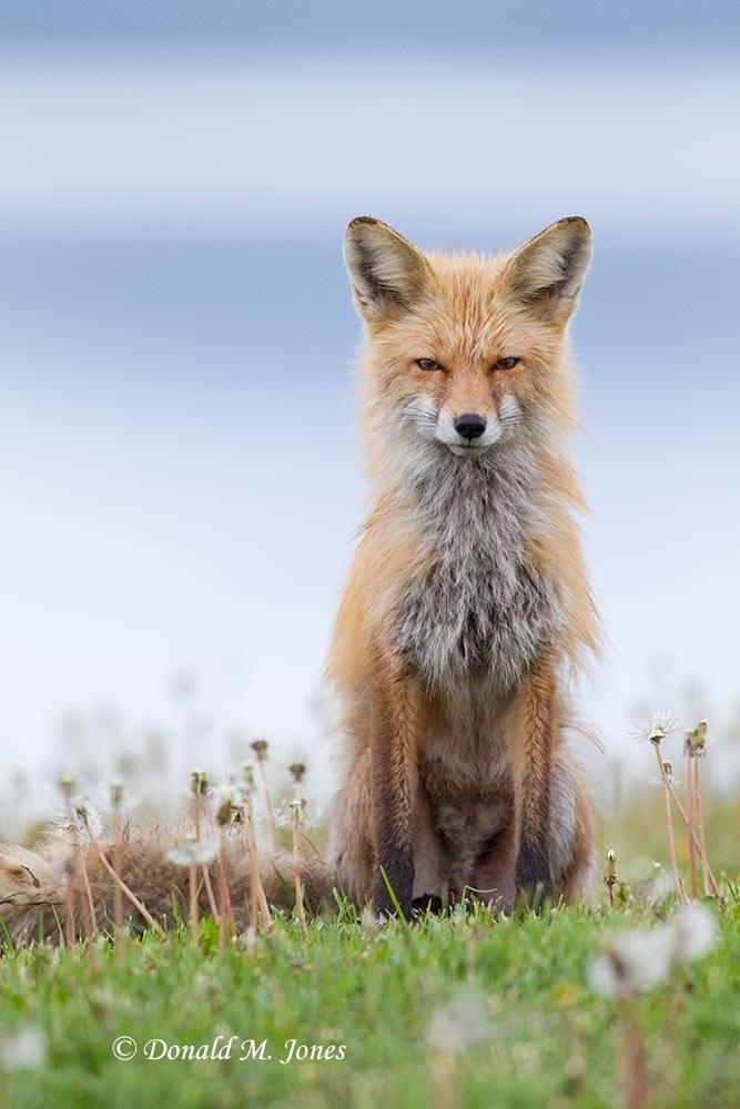 Red-Fox0820D