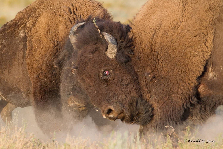 American-Bison1529D