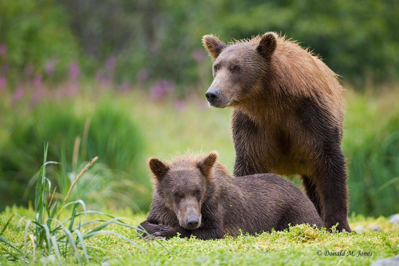 Brown-Bear02055D