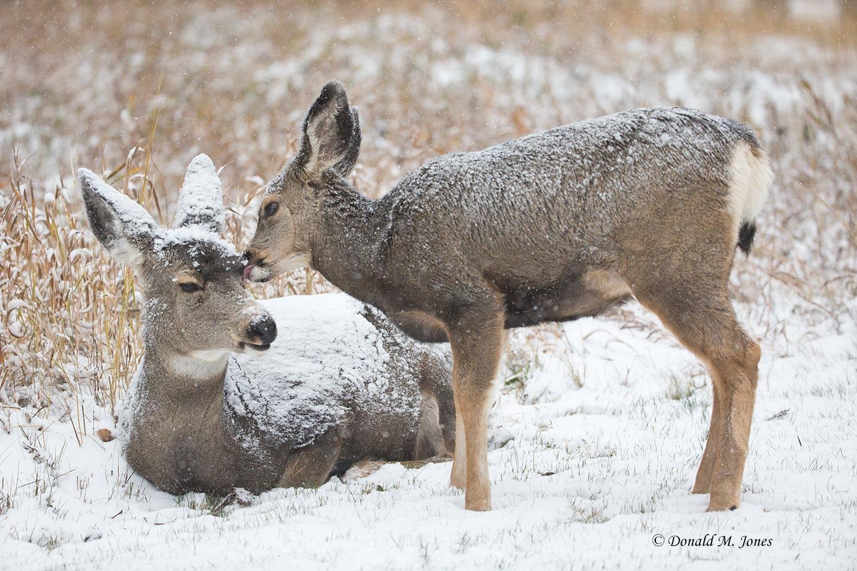 Mule-Deer09528D