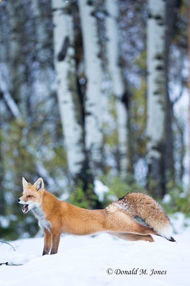 Red-Fox1216D