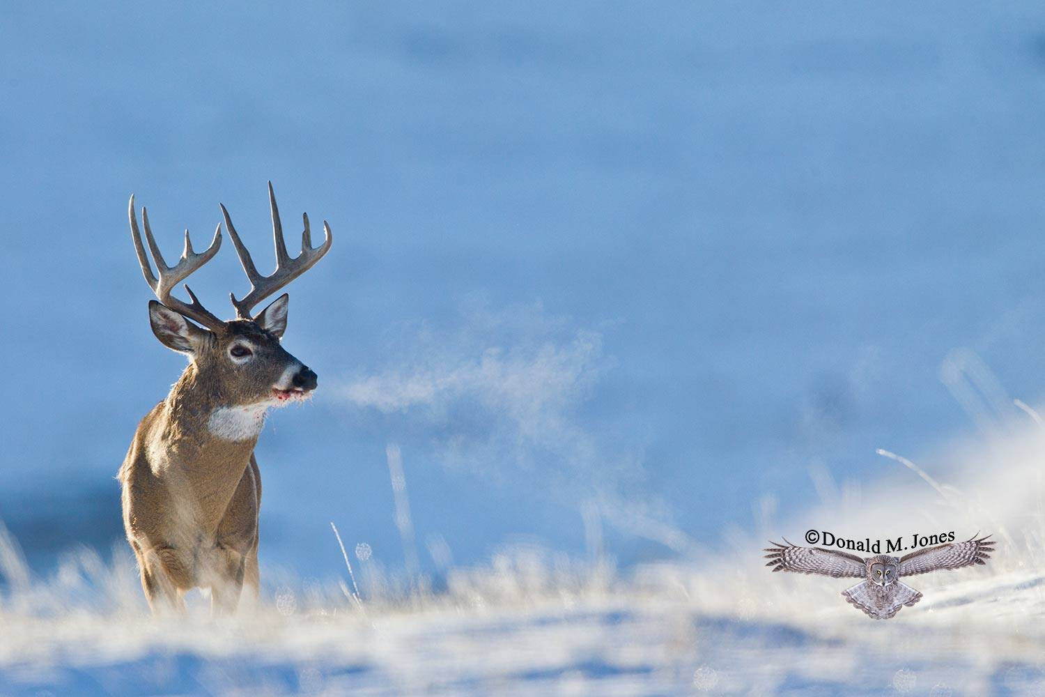Whitetail-Deer52180D