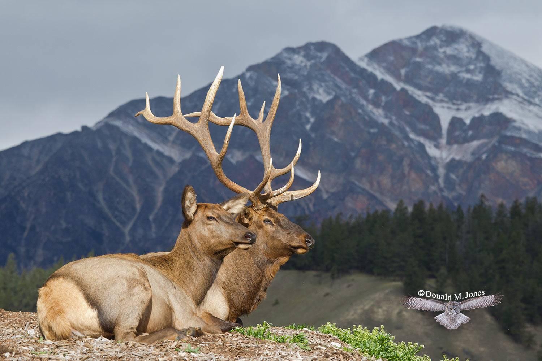 Elk-(Rocky-Mtn)21927D