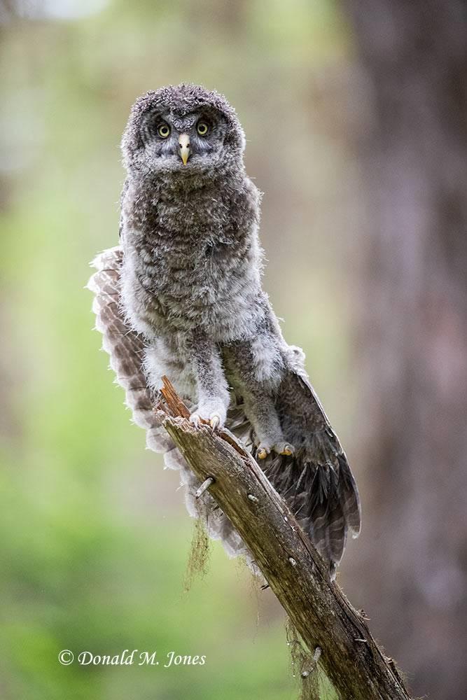 Great-Gray-Owl1541D