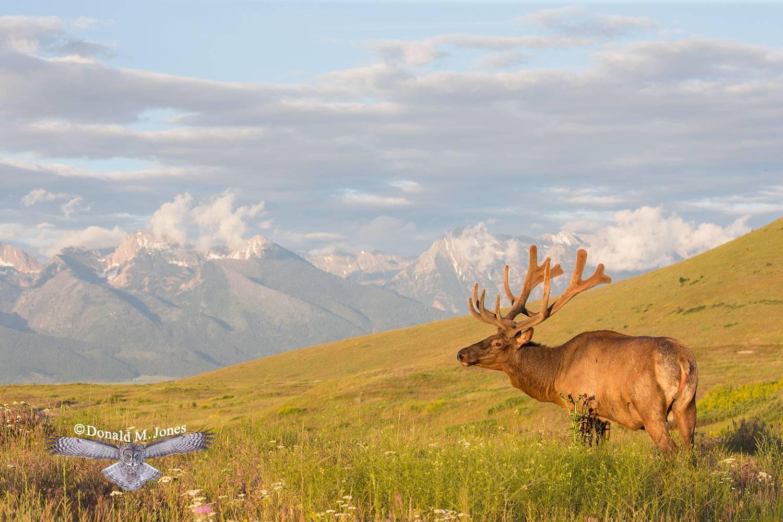 Elk-(Rocky-Mtn)25449D