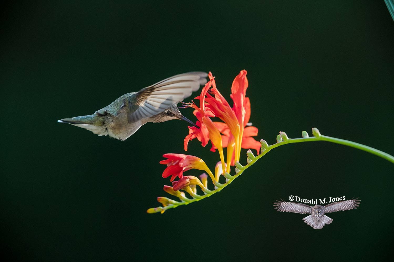 Calliope-Hummingbird0407D