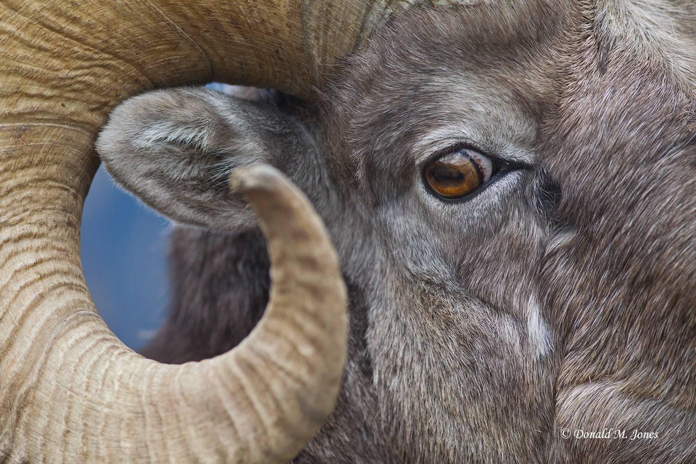 Bighorn-Sheep04572D